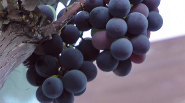 Campagna vitivinicola 2015: scadenza prorogata al 25 marzo