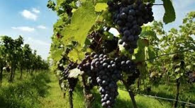 Viticultura nel Veneto: sperimentazione di vitigni resistenti